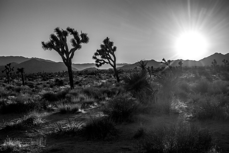 Joshua Tree Evening