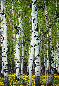Spring Lillies Under the Aspens Limited Edition by Kat Walsh Photography