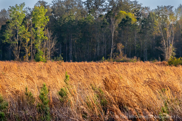 Brown Field Grass, St. Augustine Florida