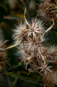 Fireweed Gone to Seed