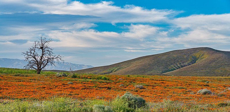 wildflowers in Antelope Valley