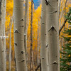 Aspen Pines