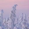 snow-covered fir trees in Lapland winters