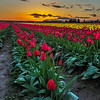 Another image from the Rozengarden Tulip field with the sun setting.