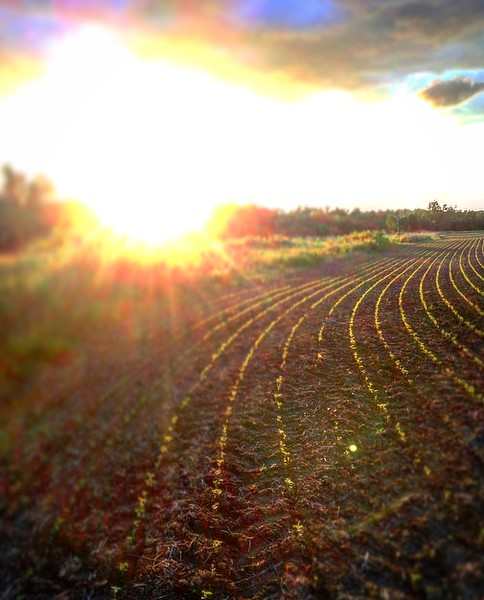 Sunset over a bean feild