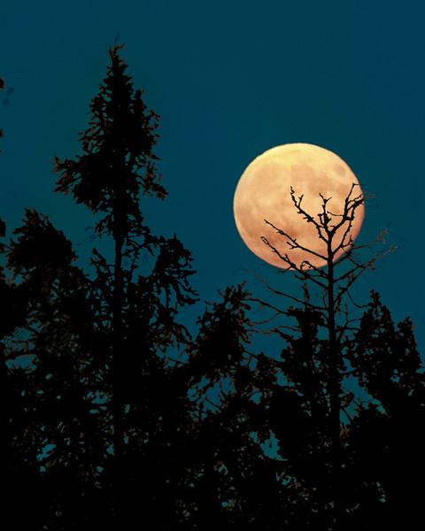 Pine Moon