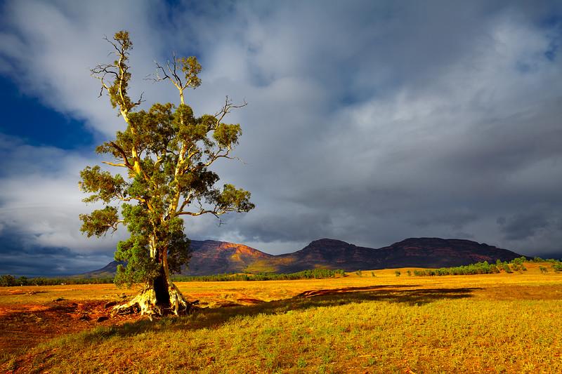 Cazneaux Tree   Wilpena Pound Australia