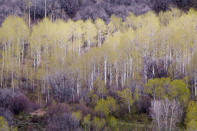 Spring Trees in Steamboat Springs, Colorado Limited Edition by Kat Walsh Photography