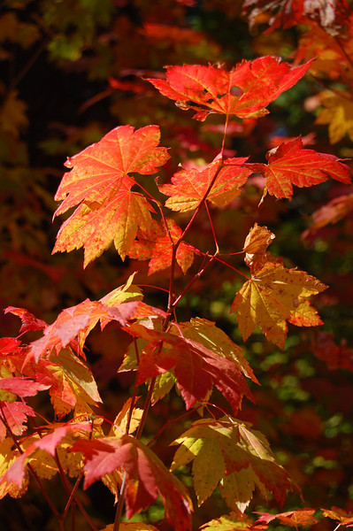 Scarlet Fall Leaves