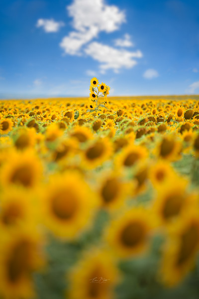 Sea Of Yellow.
