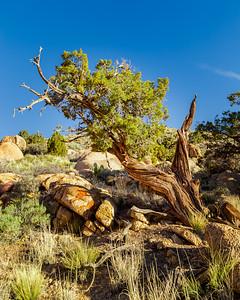 Gnarled Juniper Tree