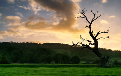 A Tree in the Cotswolds, England