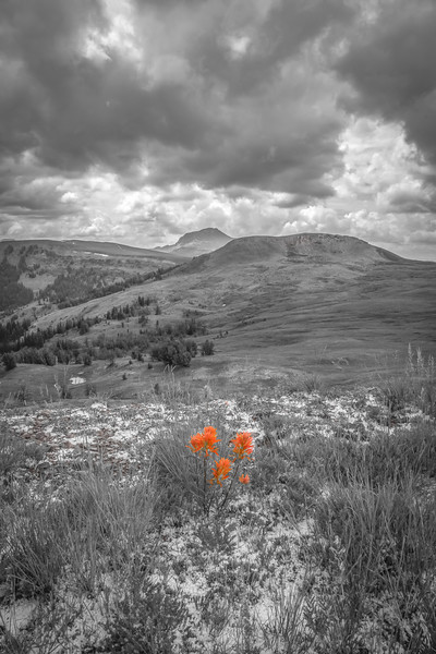 Indian Paintbrush, Gravelly Range, MT BW