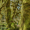 Olympic National Park, Hoh Rain Forest - Hall of Mosses