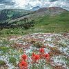 Indian Paintbrush Color, Gravelly Range, MT