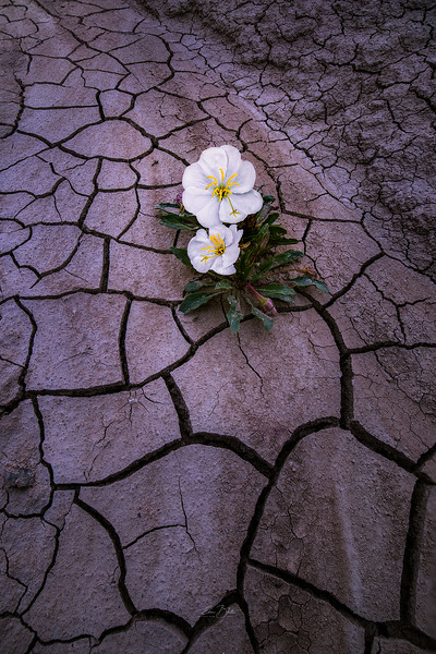 Primrose Bloom.