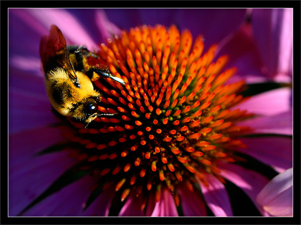 Bee and Summer Flower  Bumble bee collecting nectar from a summer flower  Matthaei Botanical Gardens University of Michigan, Ann Arbor  23-JUL-2008