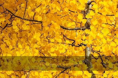 Aspen in Fall Color