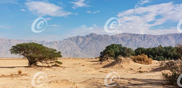 Arava Desert Vegetation