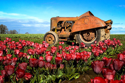 Tractor at Tulip Farm