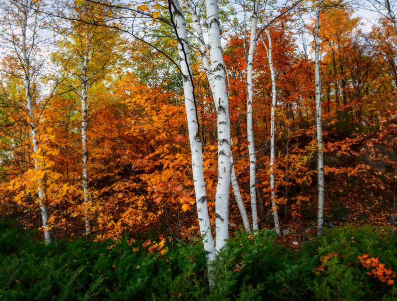 Gatineau Park Birch Cluster with Red's I