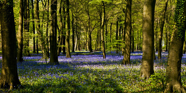 """Bluebell Forest"""