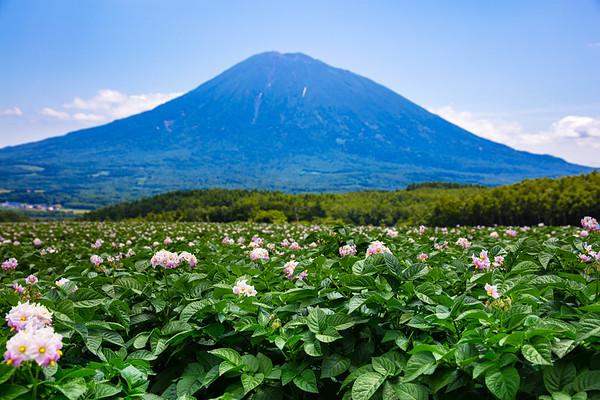 ジャガイモの花 Potato Flowers, Niseko Niseko