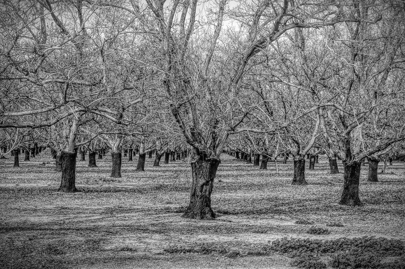 Yolo County Orchard B&W