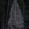 Lone Pine, Yosemite