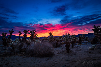 Sunrise in Cholla (Joshua Tree)