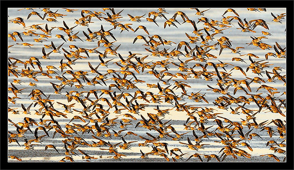Flight of the Sandpipers  Western sandpipers fly in a swarm to various feeding spots at the edge of the water in the slough  Charleston Slough, Shoreline Park Mountain View, California  22-APR-2010