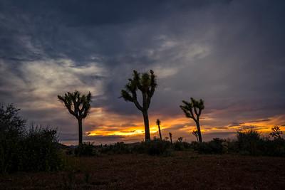 Joshua Trees at sunset
