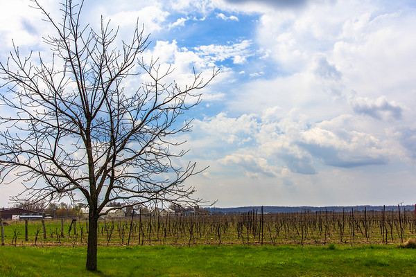 Wintry Vineyards, Ontario, Canada