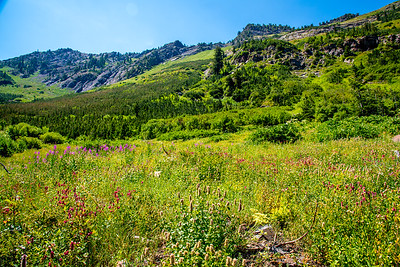 Mountrain Wild Flowers in Utah