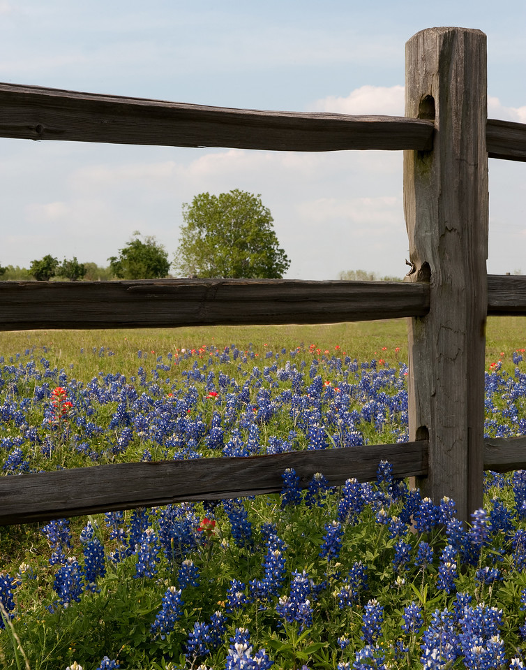 Bluebonnets and Wooden Fence  Hill Country  Texas