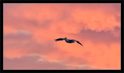 White Pelican & Sunset Clouds