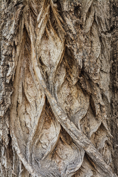 Cottonwood Bark, Madison River, MT