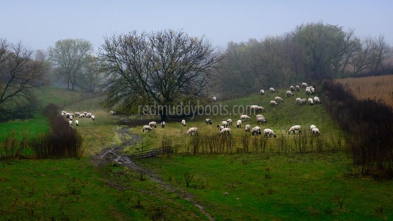 Freedom Sheep