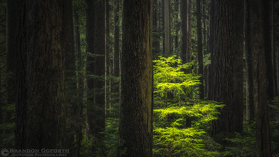 Olympic Forest II