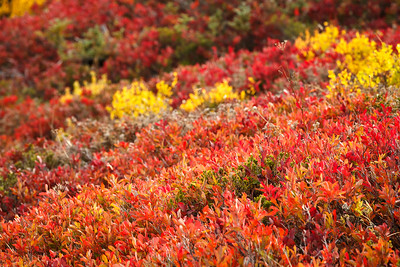 Fall Color, Paradise Meadows, Mount Rainier National Park