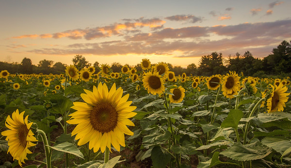 Maryland Sunflower