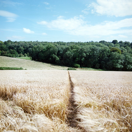 Path through a field of wheat, near West Marden, West Sussex