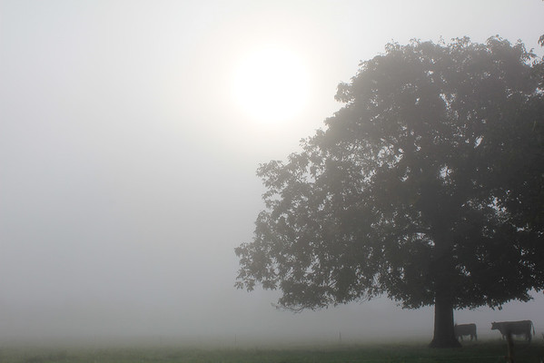 Eingehüllt im Nebel,  Fog wrapped around tree and cows