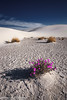 White Sands Verbena