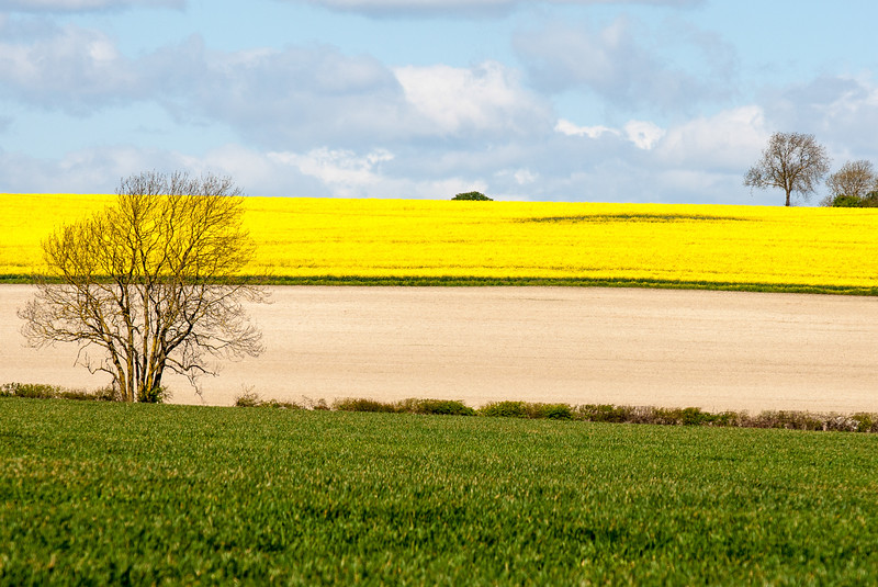 Rape Fields, Cambridgeshire