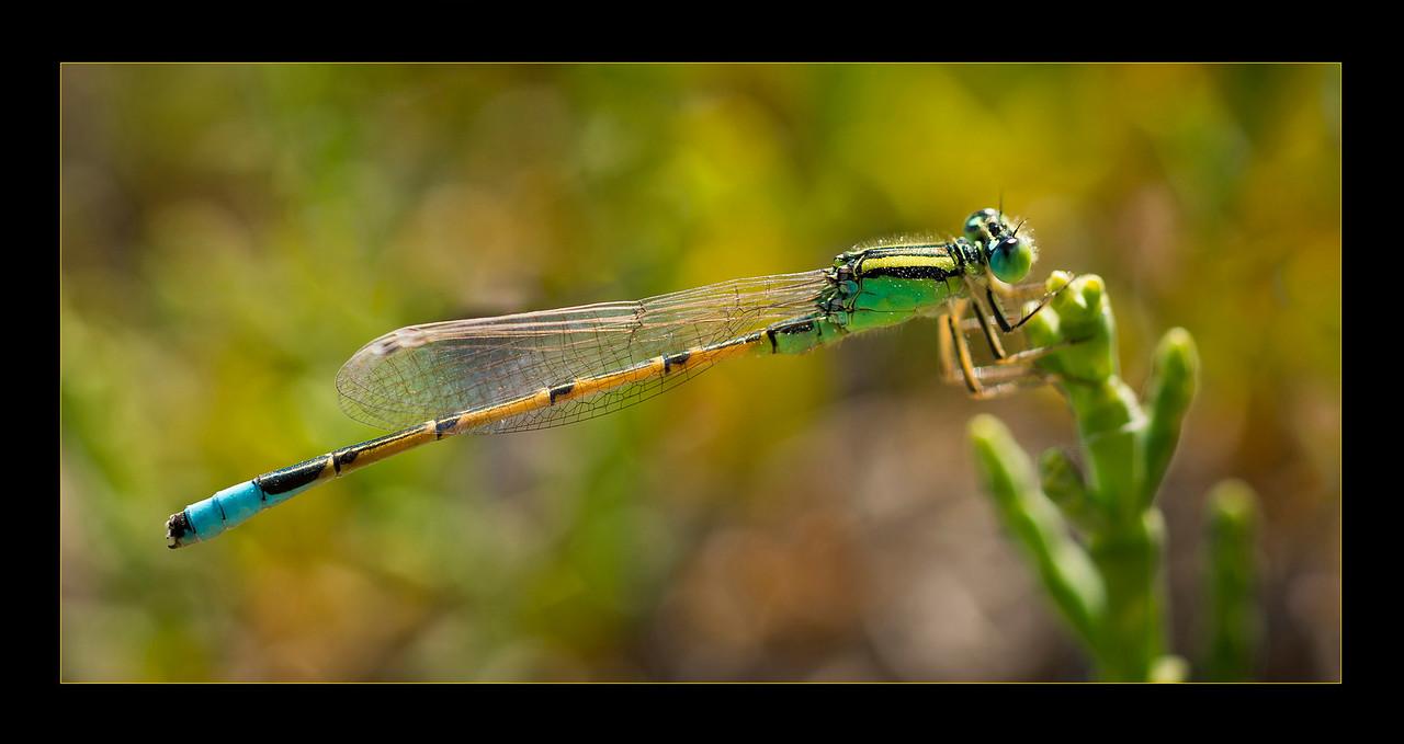 Great Salt Lake Dragonfly