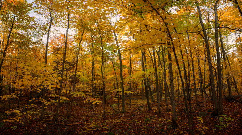 Fall Yellows in Gatineau Park.