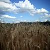Wheat Feild