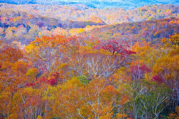 Birch Forest, Hokkaido, Japan