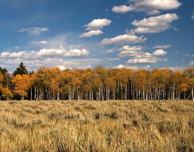 Aspens  Jackson Wyoming
